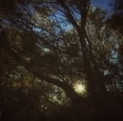Early light through the Tea Trees