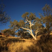 Giant Ghost Gum in late afternoon light