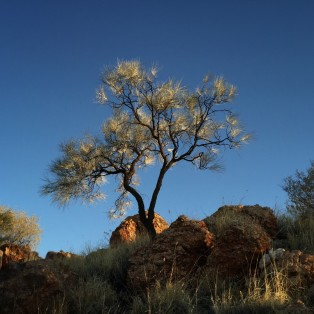 Corkwood in late afternoon light