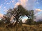 corkwood-tree-silhouette