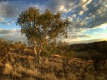 Eucalyptus and MacDonnell Ranges in early morning