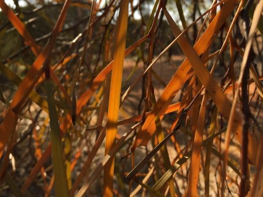 acacia-desmondii-leaves