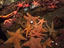 Live Starfish, Seattle Aquarium