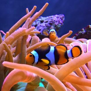 Clown fish in anemones