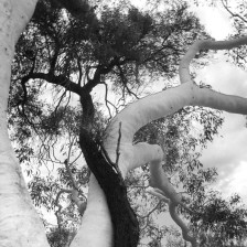 Ghost Gum and friend.