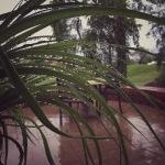 Ponytail Palm, new growth