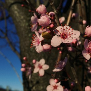 Ornamental tree in blossom