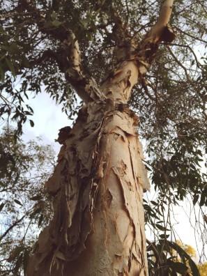 Melaleuca leucadendra, Weeping paperbark