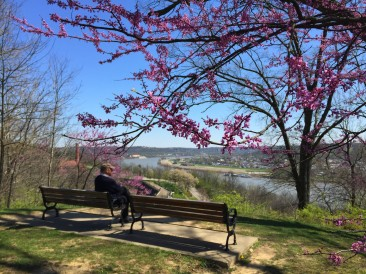 Red bud trees in bloom looking over the Ohio River