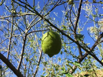 unripe lemon on denuded tree five months ago