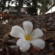 frangipani-flower-darwin