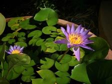 waterlily-darwin