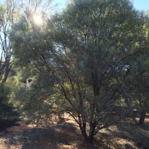 Acacia Cambagei, or Gidgee, or stinking tree!