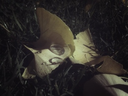 Gingko with dew