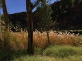 reeds alongside Boggy Hole