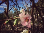 chaenomeles-japonica-japanese-quince