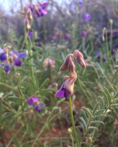 Patch of legume type wildflowers.