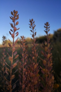 native grasses in early morning