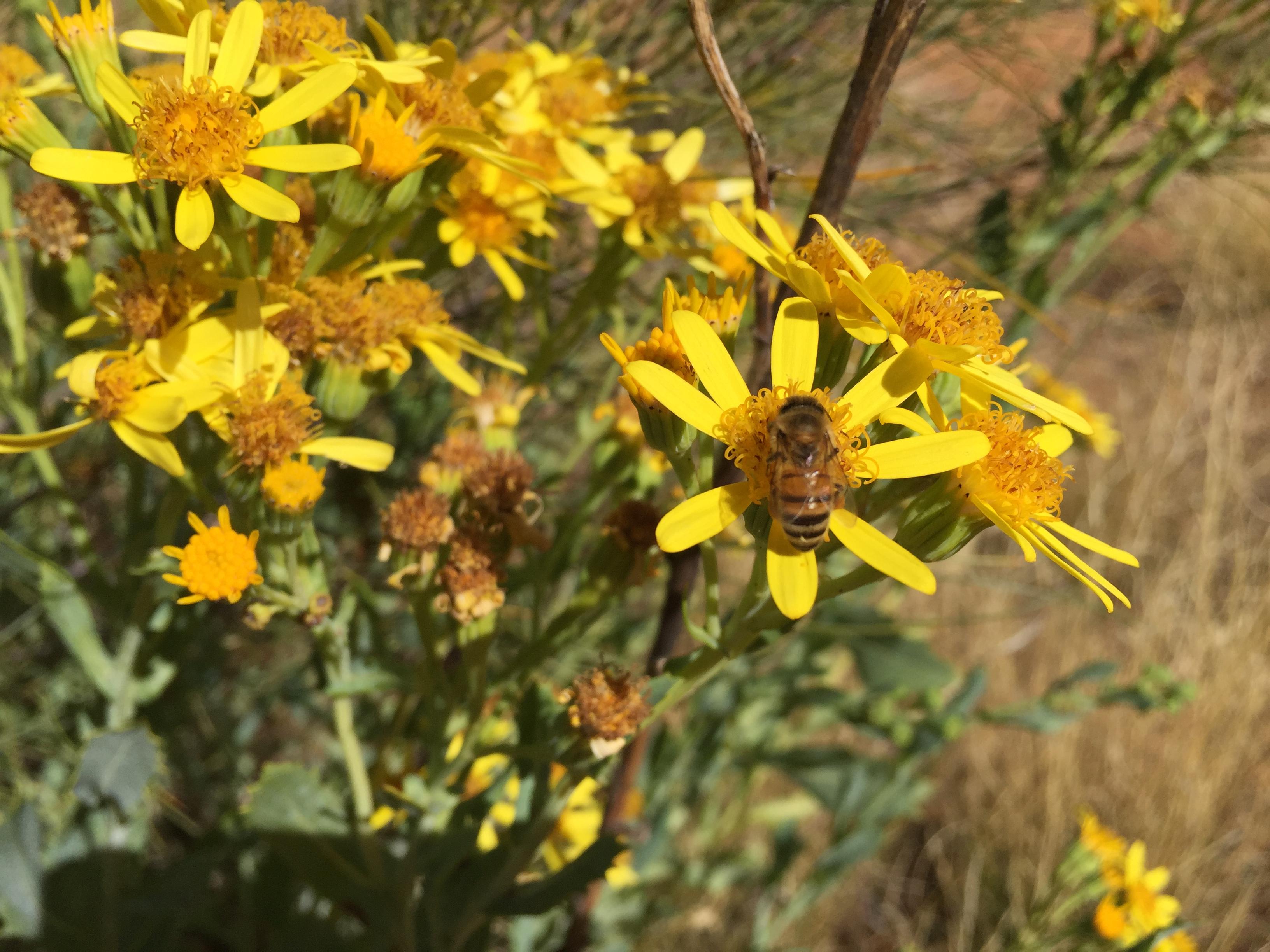 honey-bee-daisy