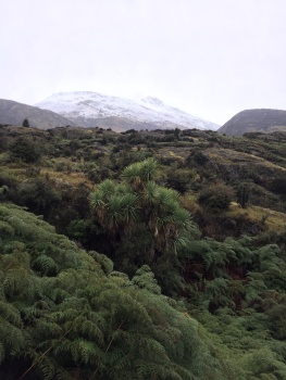 Native cabbage tree, ferns and snow on the southern alps