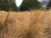 Red tussock grass (native)