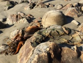 boulder of Moeraki with large seaweed